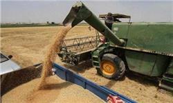 ۶۰ درصد گندم استان زنجان در خدابنده تولید شد