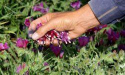 خدابنده پیشتاز کشت گیاهان دارویی در استان زنجان است
